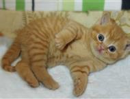 Британские котята в Балаково продам рыжих британских котят -котики.   Котята чистокровные, плюшевые, невероятной красоты окрасов.   Если Вы не боитесь, Балаково - Продажа кошек и котят