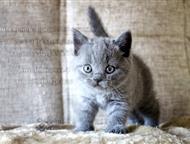 Клубные котята британской породы Британские кошки. Отличные породные данные. Котята наследуют крови знаменитых европейских питомников. Без изъянов в г, Москва - Продажа кошек и котят