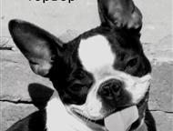 Санкт-Петербург: Болонка Цветная Русская от Чемпионов Болонка Русская цветная - Щенки. Родословная Ркф, от Чемпионов породы, кобели, различных окрасов, привиты, клеймо