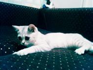 Саратов: Британская кошка Британская кошка 1год очень дружелюбная ласковая
