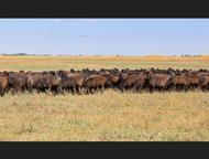 Продаю племенных овец эдельбаевской породы, Все овцы котные (беременные) 300 голов.   Живой вес от 50 до 75 кг.   Чистая порода.   Ягнята будут в конц, Уфа - Другие животные