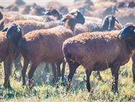 Уфа: Продаю племенных овец эдельбаевской породы, Все овцы котные (беременные) 300 голов.   Живой вес от 50 до 75 кг.   Чистая порода.   Ягнята будут в конц